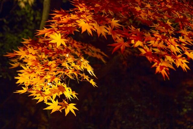 京都の紅葉寺のライトアップ!見ごろはいつ?